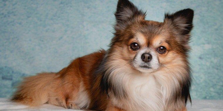 Most Popular Chihuahua Mixes