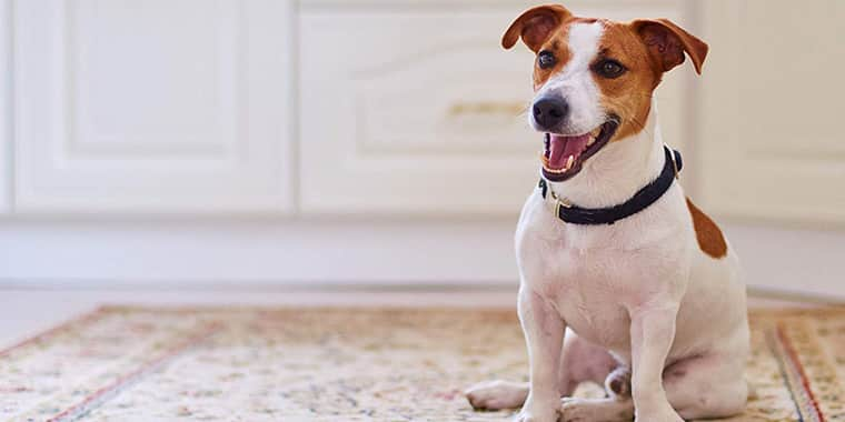 Best Pet Carpet Cleaner Solutions and Shampoos