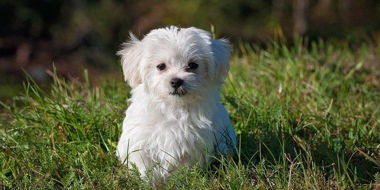 Popular White Dog Breeds