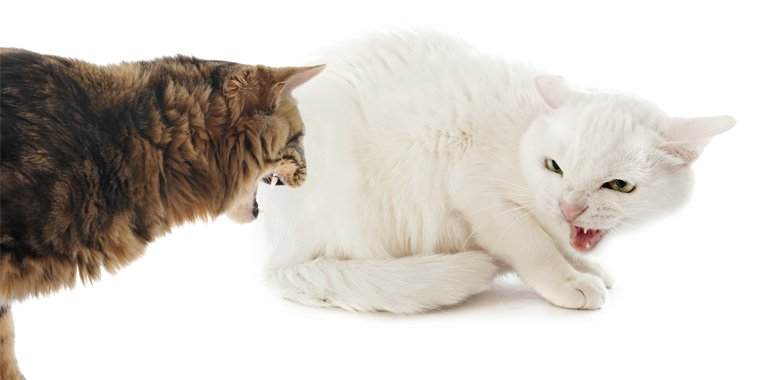 What To Do If Your Cats Conflict