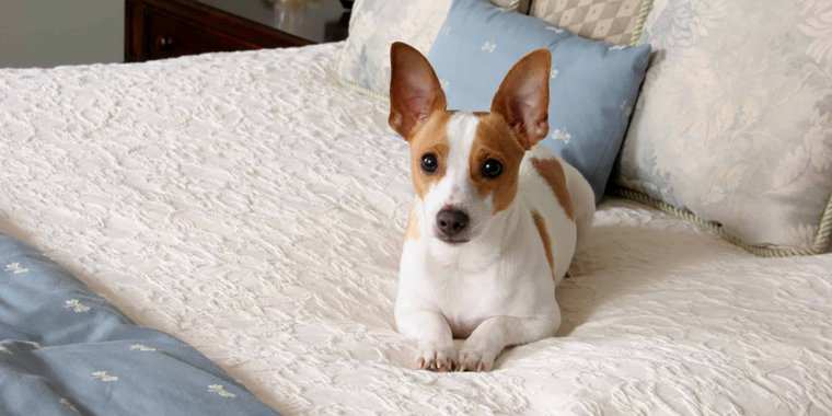 Adorable Rat Terrier Mixes