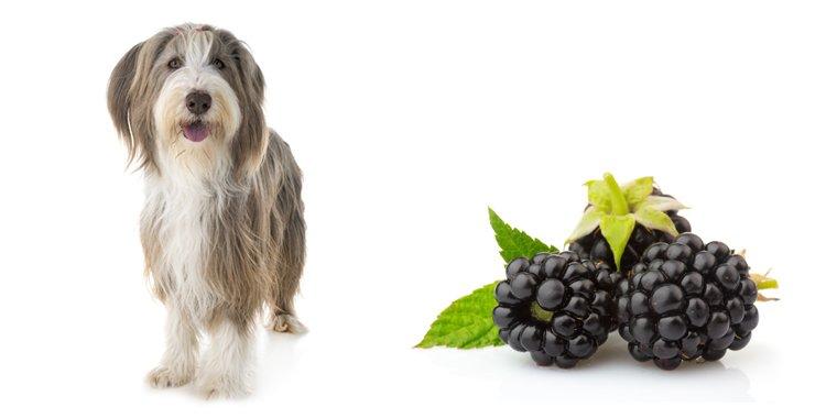 Can Dogs Eat Blackberries