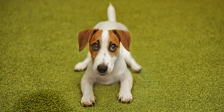 How to Deal With Submissive Urination in Dogs