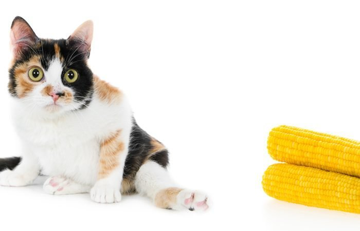 Can Cats Eat Corn?